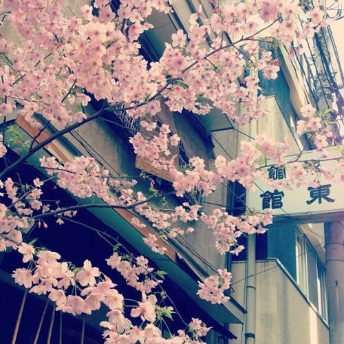 秋葉原 桜